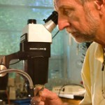 Dr. Hain looks at the bark of an infested Fraser fir under the microscope